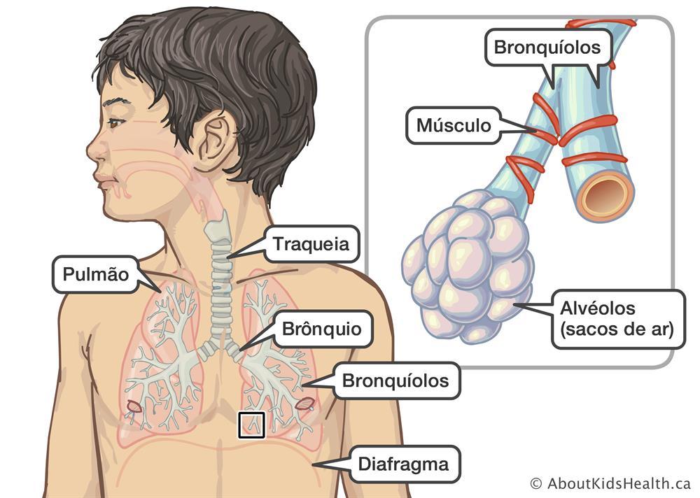 0ccb5262b Posição dos pulmões, traqueia, brônquios, bronquíolos e diafragma num  menino, com uma