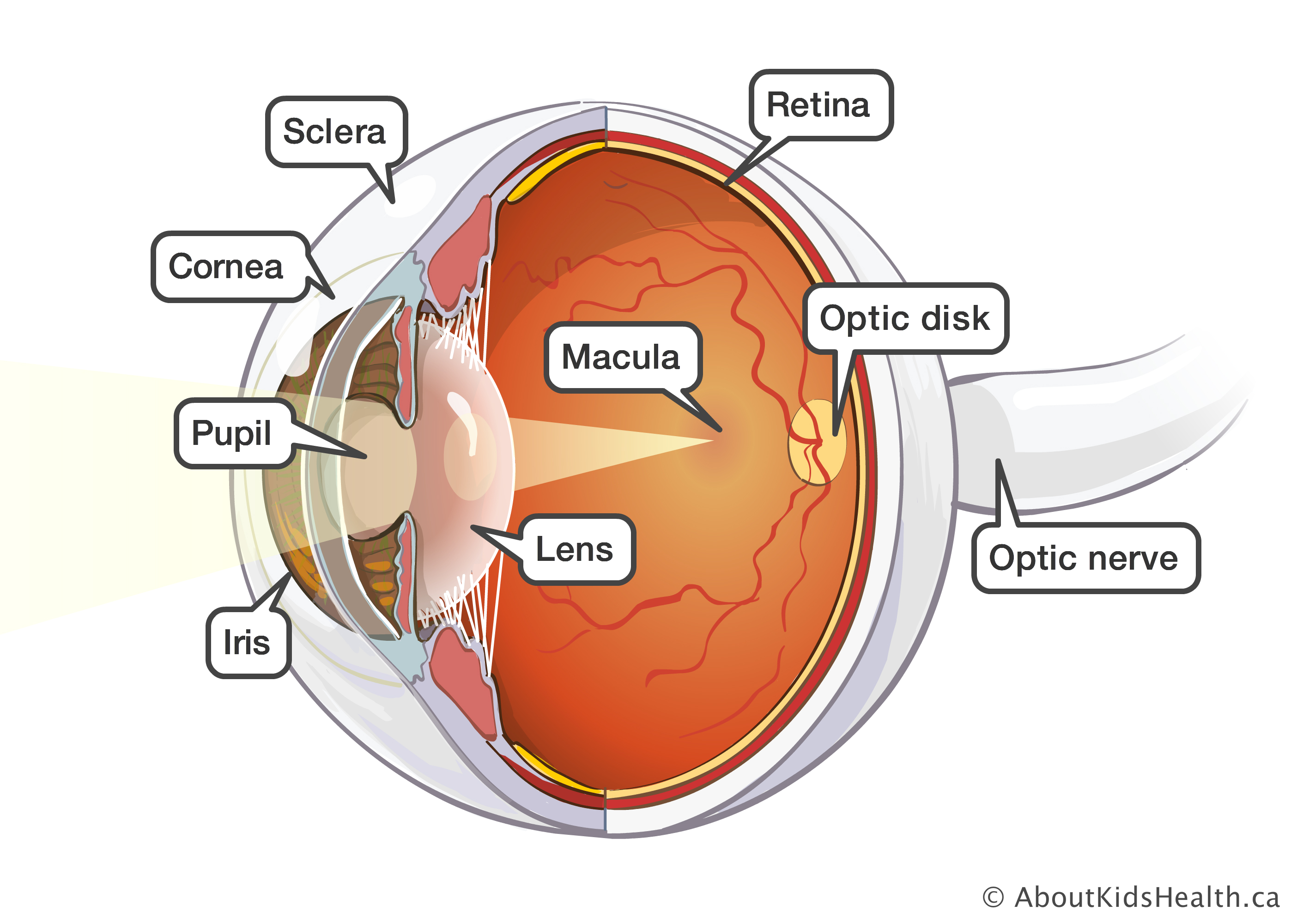 Diagram Of Eye Without The Words - Online Schematic Diagram •