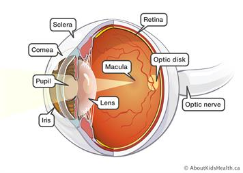 Eye anatomy and function ccuart Image collections