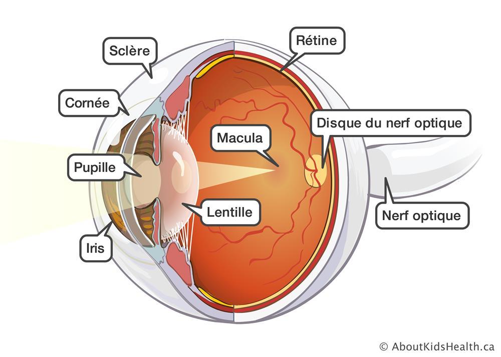 Oeil anatomie et fonction - Couche du globe oculaire ...