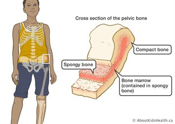 Bone Marrow And The Immune System