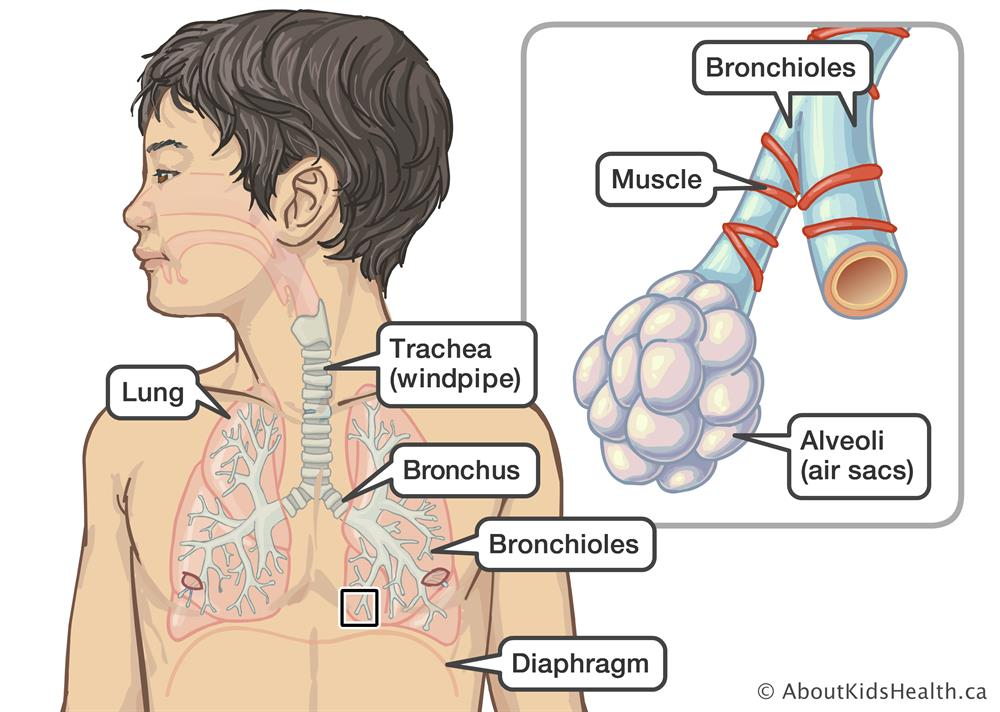 Respiratory system. Location of the lungs, trachea, bronchus, bronchioles  and diaphragm in a boy,